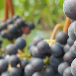 Ripe purple grapes hang from vines in a vineyard.