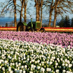 Green tractor in a tulip field at Wooden Shoe Tulip Farm