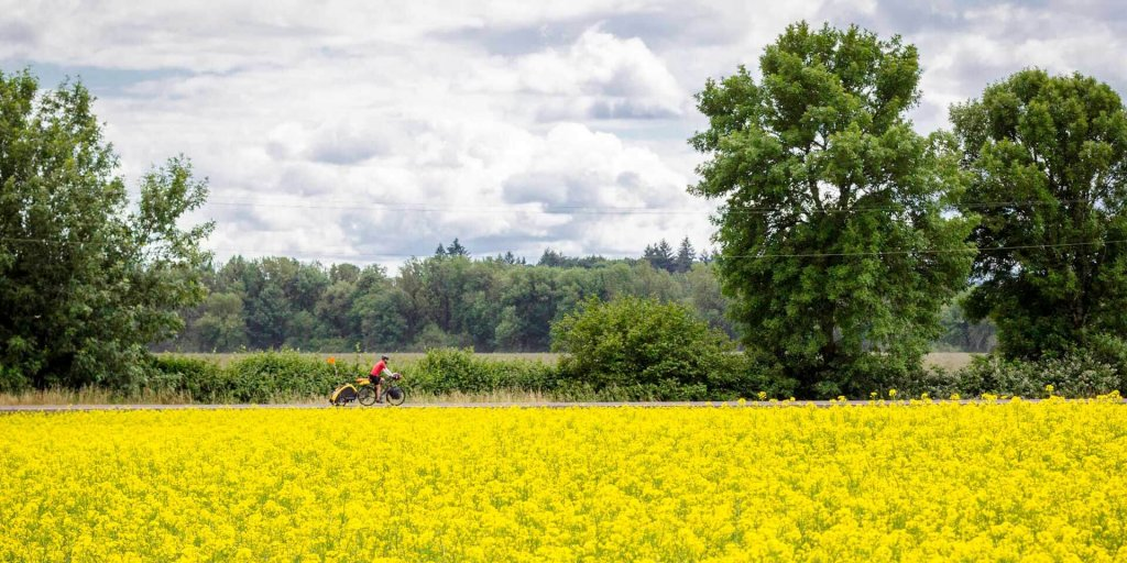 Man cycles next to a field of yellow flowers