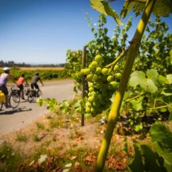 Green grapes hang from vines lining a scenic bikeway being pedaled by four casual cyclists.