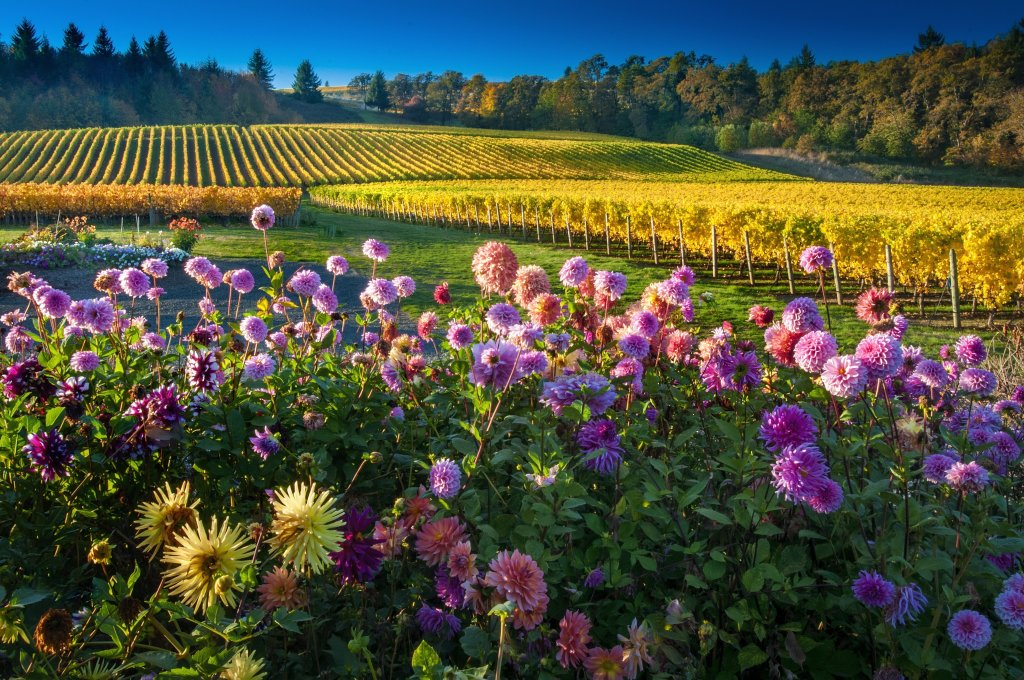 Purple dahlias in the foreground, rolling vineyards in the background